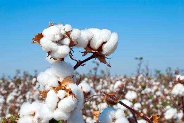 Reife Bio-Baumwolle auf Baumwollfeld